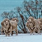 Rams in Snow by Stephen Dickson