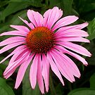 Purple Cone Flower by Mechelep