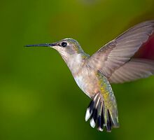 Hummingbird in Flight by Bonnie T.  Barry