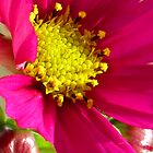 cosmos close-up by Christine Ford