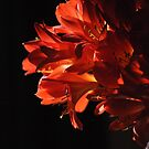 Clivia by petejsmith
