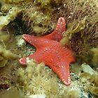 Brick-red Sea Star (Anthaster valvulatus) - Black Point, South Australia by Dan & Emma Monceaux