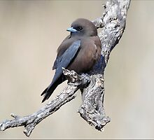 Little Woodswallow taken near Cunnamulla in Western Queensland by Alwyn Simple