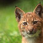 Baby Lynx by Daniela Pintimalli