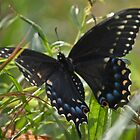 Black Swallowtail Butterfly by Christopher Hall
