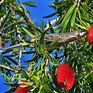 """Where's Wally"" The Wattlebird? by Toni Kane"
