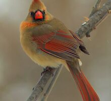 Female Northern Cardinal - Bay Beach Wildlife Sanctuary by Jeff Weymier