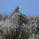 Richard's Pipit (Anthus novaeseelandia) - Lowly Peninsula, South Australia by Dan & Emma Monceaux