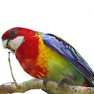 Rosella Return by byronbackyard