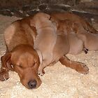 sandys first litter of healthy pups. sandys looking abit exhausted by michaelwallwork