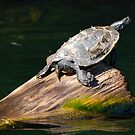 Turtle On A Log by Todd Weeks