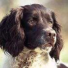scott, springer spaniel, looking cool! by michaelwallwork