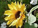 Sunflower by lynn carter