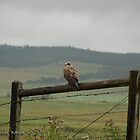 Swainsons Hawk On A Misty Day by Trish Sweett