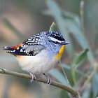 Spotted Pardalote by EnviroKey