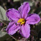 Bush Tomato (Solanum cleistogamum) - Lowly Peninsula by Dan & Emma Monceaux