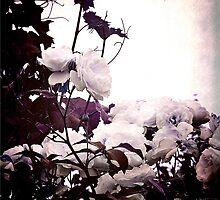 wild rose by agawasa