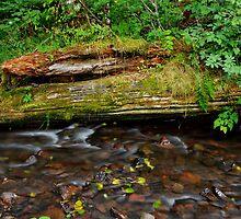 Forest Stream by Patrick Jones