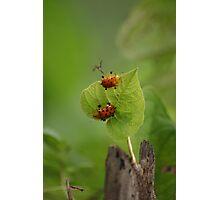 Turtle Beetles on a leaf Photographic Print
