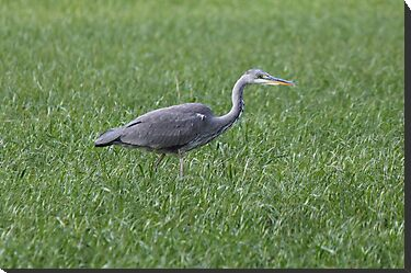 Heron In grass field by yampy