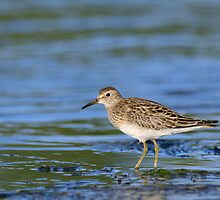 Pectoral Sandpiper by Heather Pickard