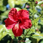 Hibiscus In, Hibiscus Out by -aimslo-