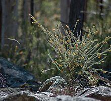 Dillwynia retorta by garts