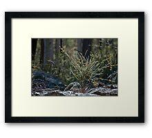 Dillwynia retorta Framed Print