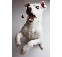 Piece of candy? - Jack russel terrier catching a treat Photographic Print