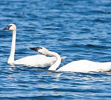 Pair of Trumpeter Swans by DigitallyStill