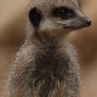 Meerkat by Nick Barker
