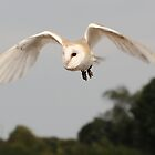 Barn Owl by Nick Barker