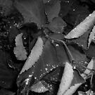 Waterdrops in black and white, Edmonton Alberta by Laura-Lise Wong
