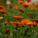 Orange Marigolds by sweetairhead
