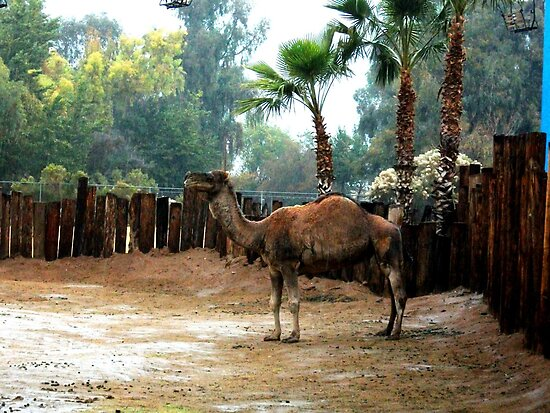 Camel, Phoenix Zoo by Laura-Lise Wong