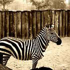 Zebra, Phoenix Zoo by Laura-Lise Wong