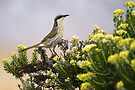 Singing Honeyeater at Torquay by Darren Stones