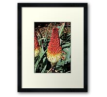 RedHot Poker / Kniphofia / Torch Lily Framed Print