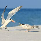 Tern Feeding by Kathy Cline