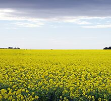 Yep... I think that's Canola! by Peter Redmond