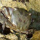 Fearless crab! by Ana Belaj