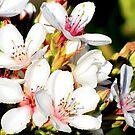Apple Blossoms by Nicki Baker