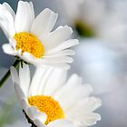 White Daisies by MayJ