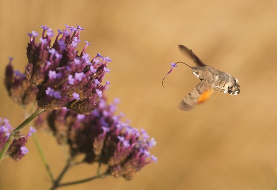 Hummingbird Hawk-moth with Flower stuck on its Proboscis by Richard Heeks