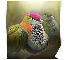 Superb Fruit Dove Poster
