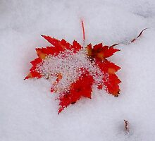 Red Maple Leaf in Snow by Michael L. Colwell