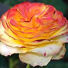 Not Just Another Tequila Sunrise Rose by cdfeag65202