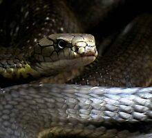 King Cobra by Veronica Schultz