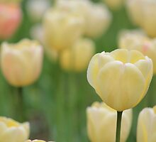 Pastel Yellow Tulips by Michael L. Colwell