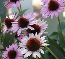 Coneflower - White Picket Fence by T.J. Martin